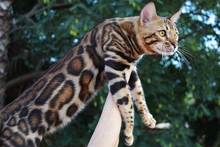 Bengal cat studs for breeding - Ramazan bengal cat males